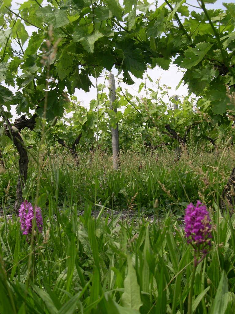 cognac bio vignoble orchidee